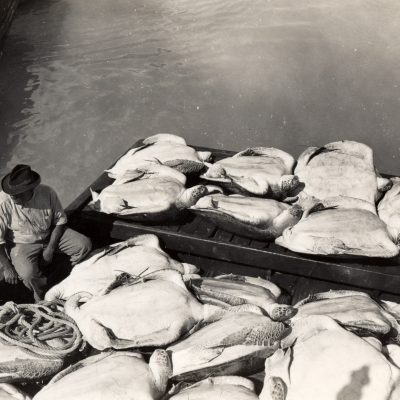 A series of photos showing how the Green Turtle was caught and shipped to the Turtle Kraals in Key West. From the Key West Art and Historical Society Collection.